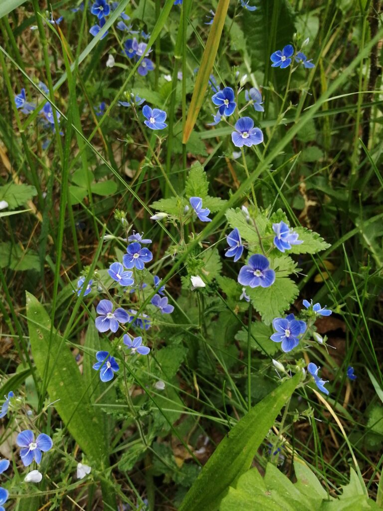 Ehrenpreis, Frühling, Wildkräuter, blaue Blüten